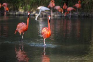 Flamingo walking or resting in water