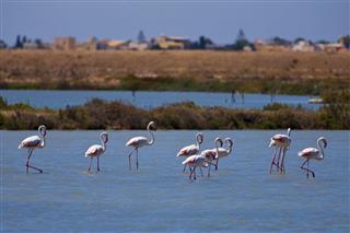 pink flamingos saline