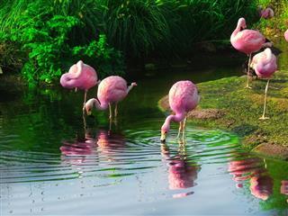 Flamingo bird in water, reflection