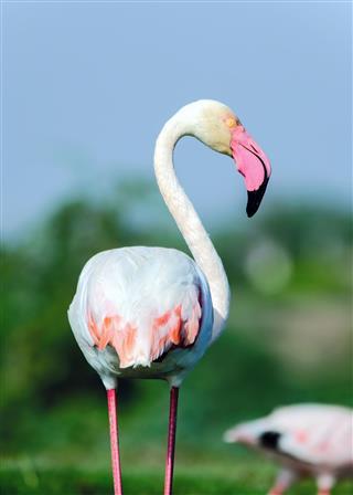 Greater flamingo Portrait - (Phoenicopterus roseus)