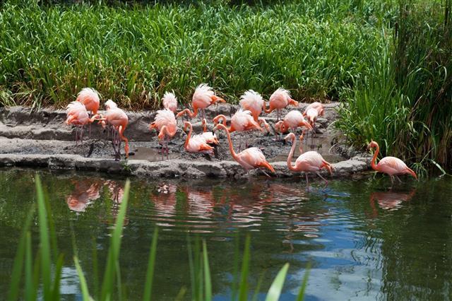 Flamingos group