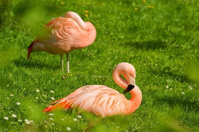 Flamingo (Phoenicopterus), bird resting on the grass