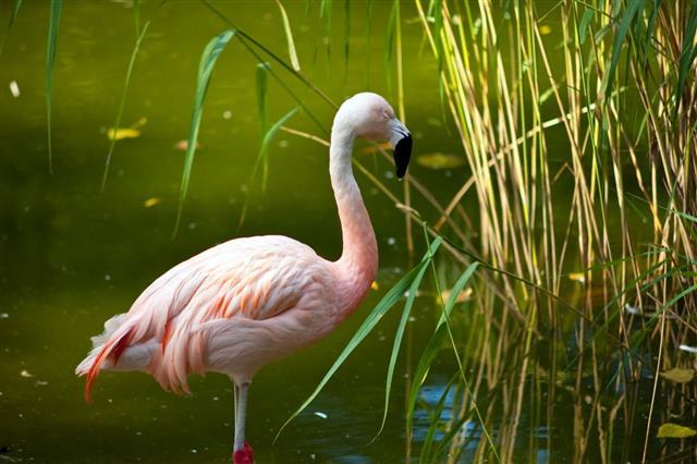 Flamingo in grass