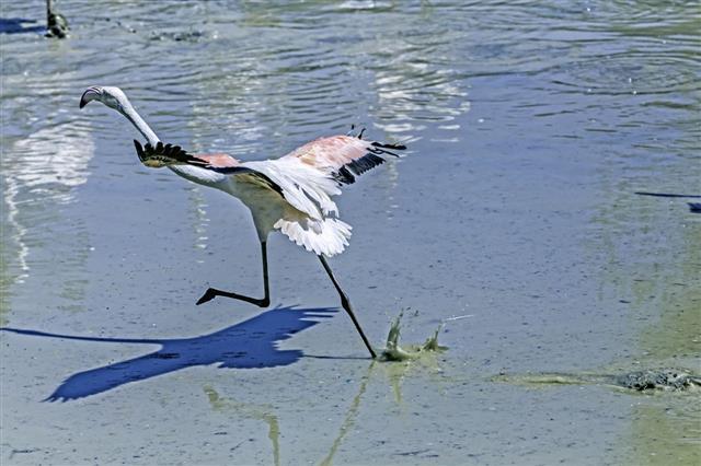 Flamingo taking flight