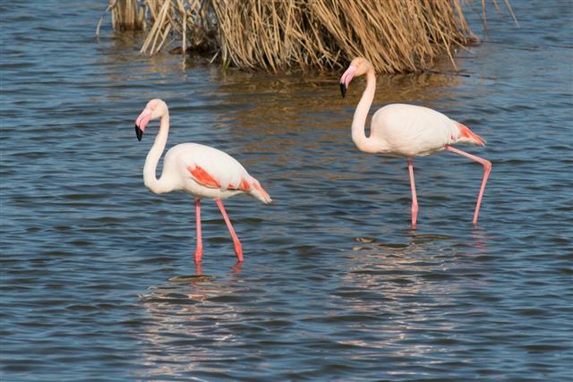 Greater flamingo, Phoenicopterus roseus
