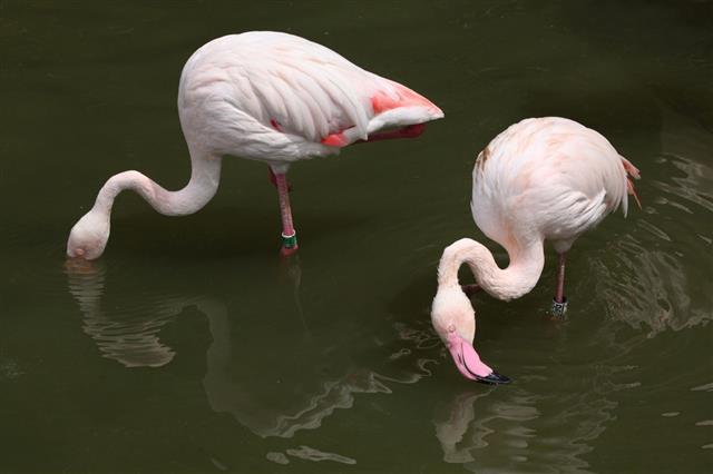 Two Greater Flamingo (Phoenicopterus roseus)