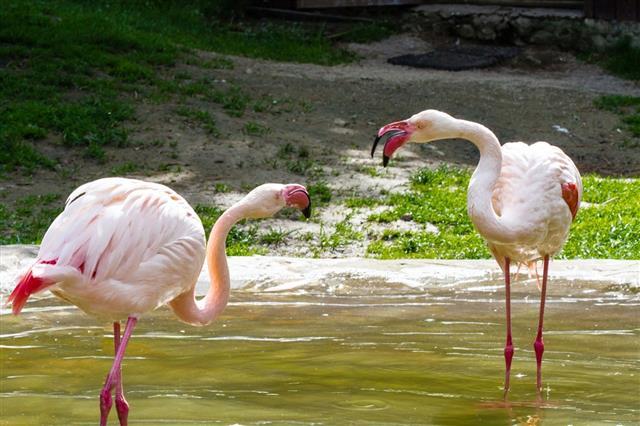 Two Flamingo birds