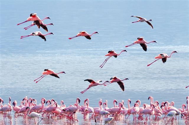 Flamingo near Bogoria Lake
