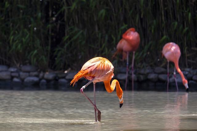 Flamingo walking in water