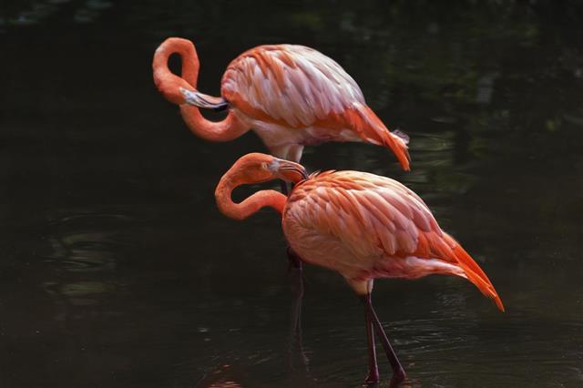 Red Flamingo couple