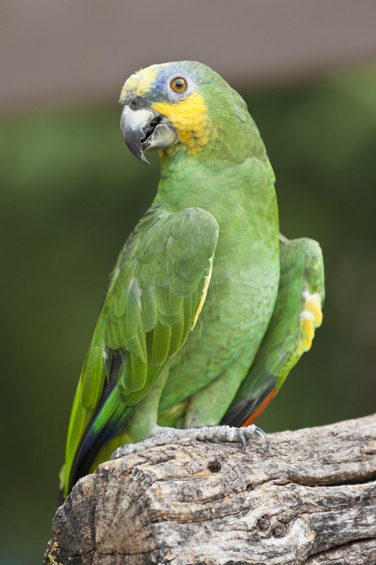 Amazon Rainforest Toucan
