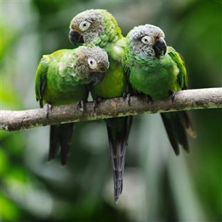Green Parakeet Parrots Snuggling