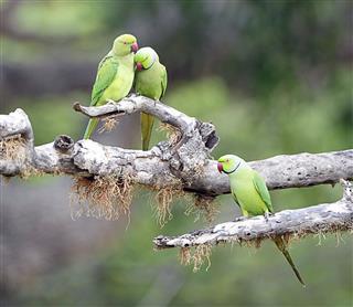 Rose-ring Parakeets
