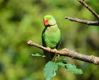 Green Bird Alexandrine Parakeet
