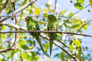 Cuban Parakeets