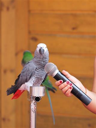 parrot singing