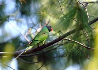Slaty-headed parakeet(Psittacula himalayana)