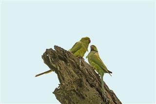 Alexandrine Parakeet in Assam