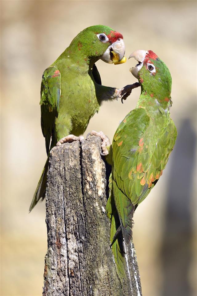 Mitred Parakeet on wood post