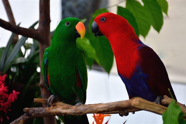 Red neck Parrots