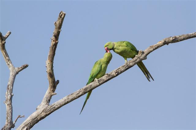 Rose-ringed parakeet in Arugam bay lagoon