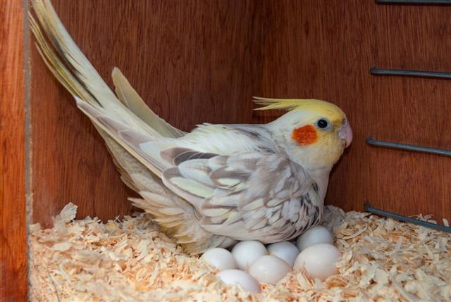 Cockatiel with eggs in birdhouse