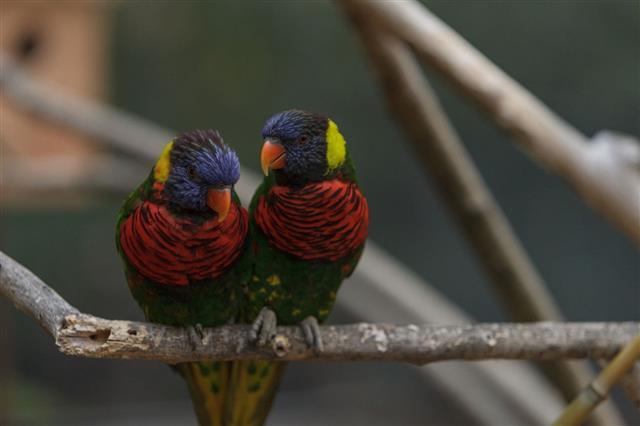 Rainbow Lorikeet bird, Trichoglossus haematodus