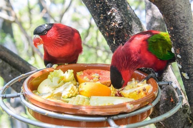 Red Parrots couple