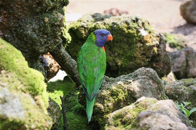 Rainbow lorikeet (Trichoglossus haematodus) species of Australasian parrot