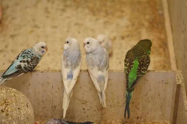 Budgie parrots
