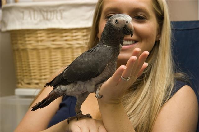 Pet African Gray