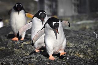 Three Penguins Waddling Down Rocky Embankment