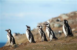 Magellanic Penguins On The Sea Shore