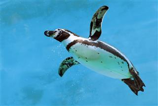 Humboldt Penguin Under Water
