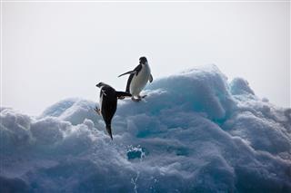 Penguin Landing On Iceberg