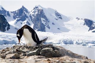Gentoo Penguin On Its Nest
