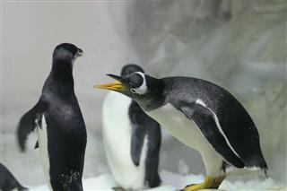 Gentoo Penguin Fighting
