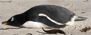 Sleeping Gentoo Penguin