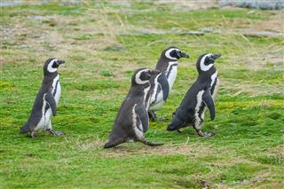 Four Penguins Walking