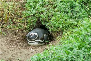 Penguin Lying On Ground