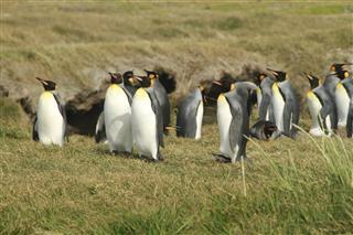 King Penguin Park On Tierra Del Fuego