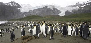 King Penguin Panorama