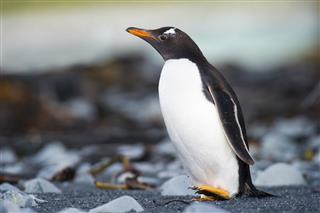 Gentoo Penguin Running On Rocky Beach