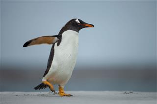 Gentoo Penguin On A Sandy Beach