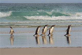 Penguin Falkland Islands