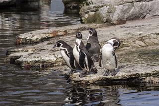Penguin With Attitude