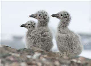 Dominican Gull Chicks
