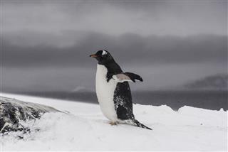 Penguin On The Snow In Antarctica