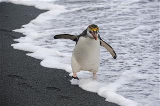 Royal Penguin On Beach