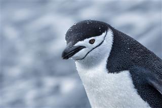 Chinstrap Penguin Walking